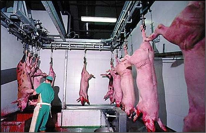 Pig Abattoir, 60 Pigs Per Day